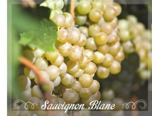 sauv-blanc-grapes