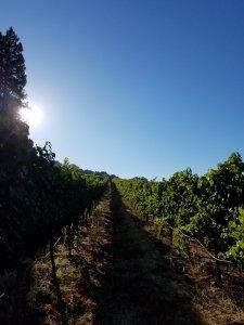 Bordeaux to allow seven new grape varieties